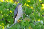 Spurvehg (Accipiter nisus)
